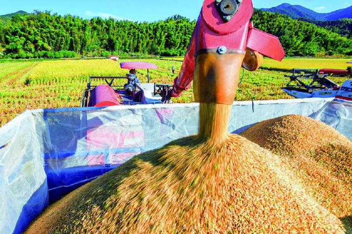 象山西周镇秋收正当时 田野上熟透的稻穗被压弯了腰