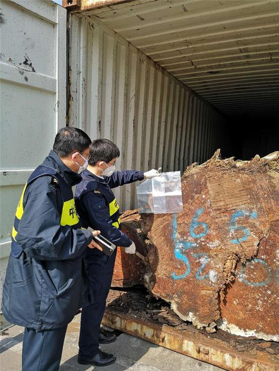 图为宁波海关从圭亚那黄膜瓣豆木原木中截获中对长小蠹。汪晋 摄