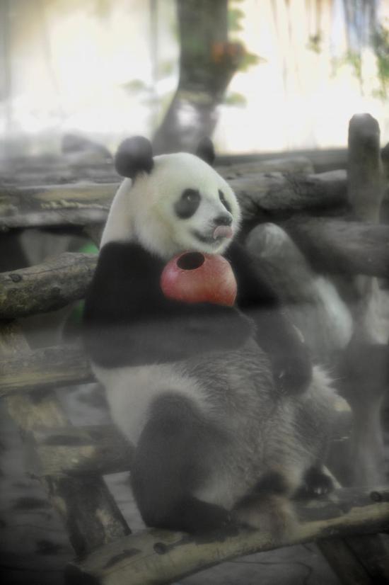 (待在空调房里的熊猫很是惬意,还吐舌头卖萌。记者崔引 摄)