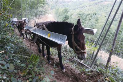 骡子在狭窄的羊肠小道上负重前行