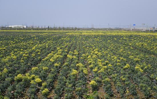 图为:正大农业科技(浙江)有限公司农业基地内作物生长旺盛。 王刚 摄