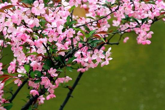 垂丝海棠常见于宁波的公园绿地,绿化隔离带也见其身影。