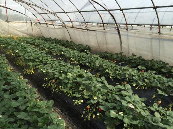 图为尚田草莓大棚。林波摄