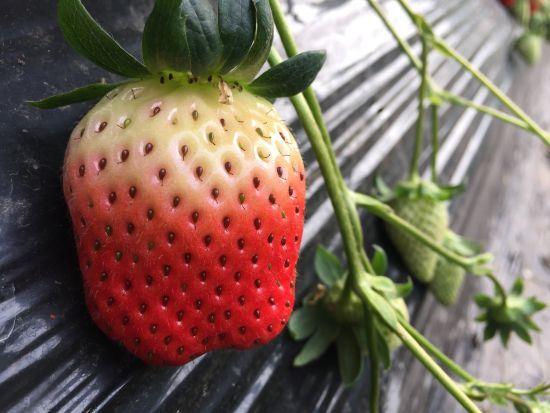 图为尚田草莓。林波摄