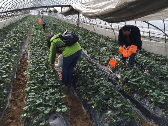 图为游客采摘草莓。林波摄