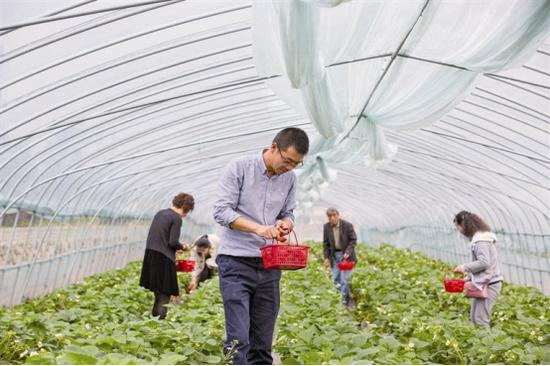 象山墙头镇草莓进入采摘季 其产量较往年有所提高