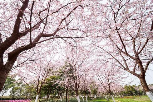 宁波植物园樱花季游客量破7万人次