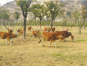 一群牛在草坪上游逛。