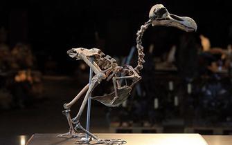 已灭绝渡渡鸟骨骼将被拍卖