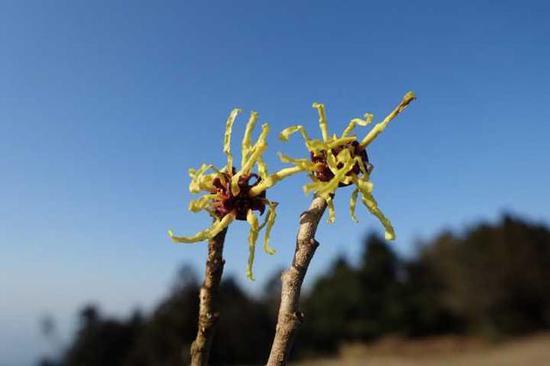 宁波现植物界极其罕见金缕梅