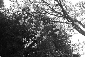 随着天气转暖儿童公园里的白玉兰进入盛花期