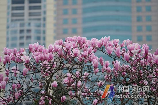 惊蛰过后,大地复苏,阳光明晃温热,枯树又添新芽。不妨趁着近日睛好的天气,感受下春的芬芳。   新河路上的紫叶李在路边盛开着,成了3月城市中一道靓丽的风景线。红叶李属蔷薇科落叶乔木,又称紫叶李、樱桃李,叶常年紫红色,著名观叶树种。红叶李小小的花,粉中透白,在紫色的叶子衬托下,煞是好看。(刘波 摄)   在三江口杉杉公园和江厦公园,每年此时,玉兰花竞相开放,一丛丛开的浓烈的花儿,粉如霞,白似雪,玉兰作为春的使者,提早给春天注入了一抹生机。(胡龙召 摄)