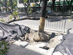 一棵被处理好的香樟树靠在另一棵上