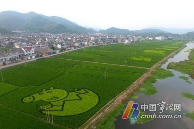 宁波裘村现创意稻田画 熊大和小猪佩奇都有