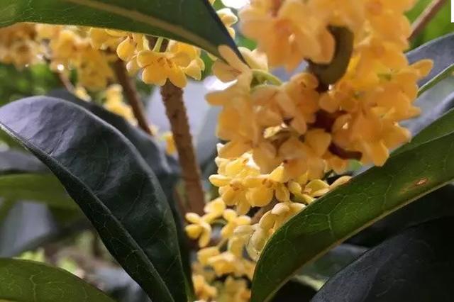 四明山桂花提早盛开 盛花期较往年提前20多天