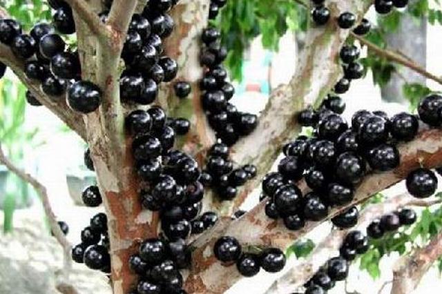 宁波梅山口岸首次进口巴西树葡萄 正在进行隔离检疫