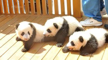 西安三只大熊猫宝宝亮相 征名认养