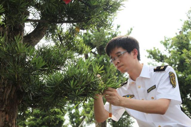 宁波口岸进口罗汉松稳步增长 蝉联全国第一