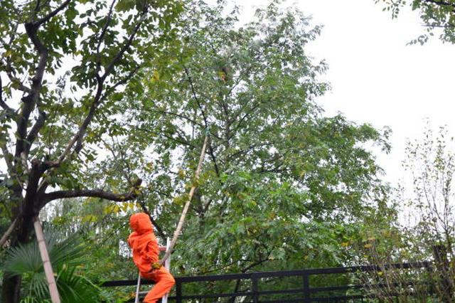 鄞州一50公分马蜂窝悬在小区绿化树上 消防紧急救援