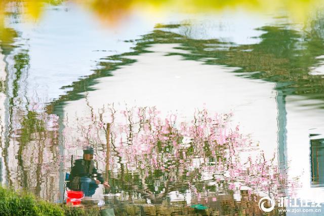 宁波一渔村梨花开满枝头 吸引不少游客赏花拍照