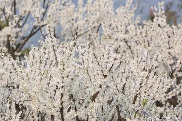北仑藏着一大片杏花林悄然盛开 宛如世外桃源