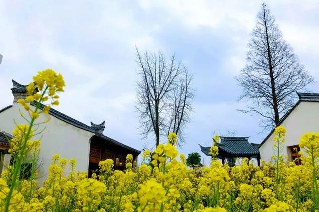 甬江街道的达人村里 300多亩油菜花竞相开放