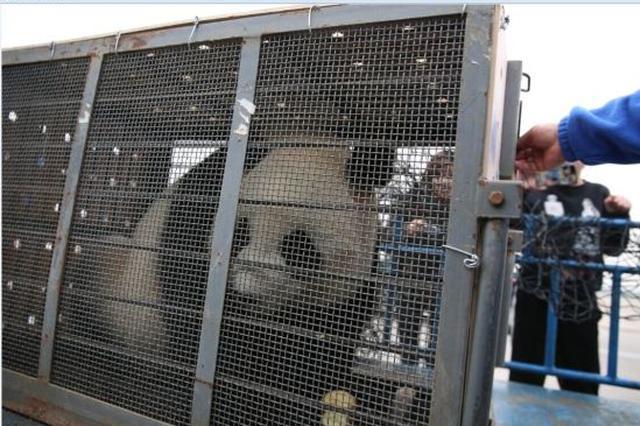 宁波大熊猫正正打飞的 回四川择偶生子