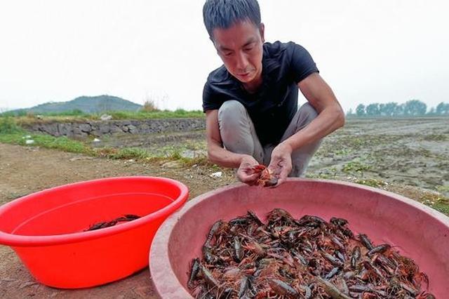 宁波本地小龙虾上市 小龙虾怎么挑有秘诀
