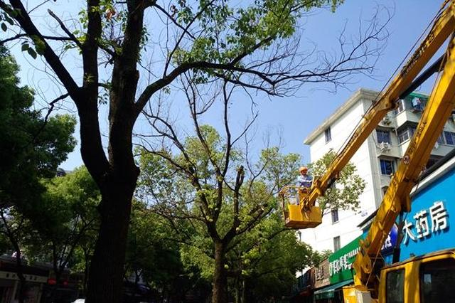 香樟树遭受盐水之灾 海曙城管给它们打点滴治疗