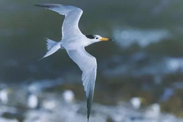 神话之鸟中华凤头燕鸥筑巢宁波 全球总数不超过100只