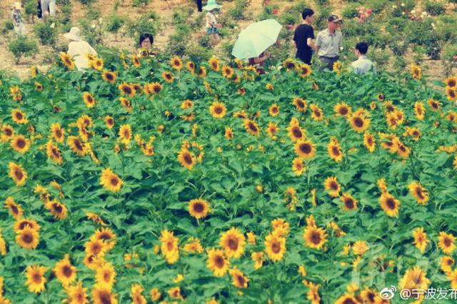 奉化区尚田镇鹊岙村村边的大面积向日葵竞相开放