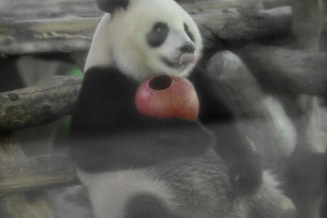 昨天进入中伏将长达20天 宁波动物园国宝花式避暑