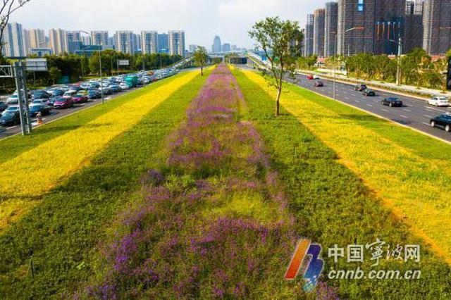宁波市政打造世纪大道绿化景观 花瀑错落有致惹人醉
