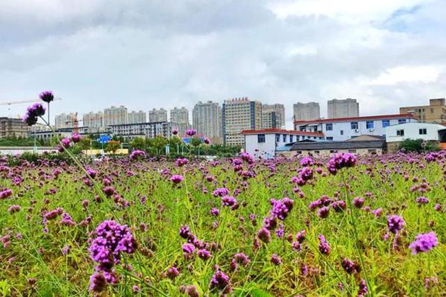 百亩马鞭草竞相开放 鄞州区下应紫色花海别样风情