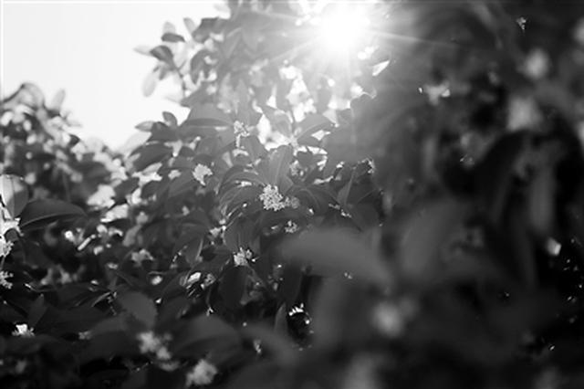 中秋节桂花开 带上一份宁波赏桂路线图出门去寻花