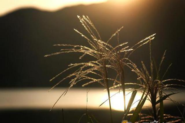 东吴镇太白湖边芦花送晚霞 浓浓秋意景色扑面而来