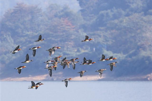 余姚1水库发现成群鸳鸯 生态环境转好吸引鸳鸯过冬