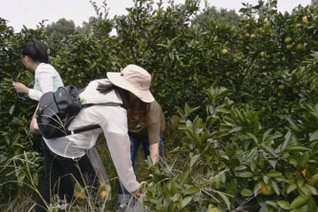 果农患重疾橘子滞销 北仑公交30余位党员采摘认购千余斤