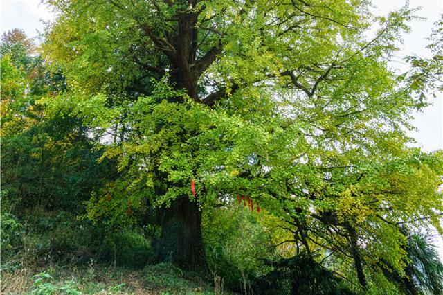甬城千年古树名木山风清拂处亮相 谱写护树新篇章