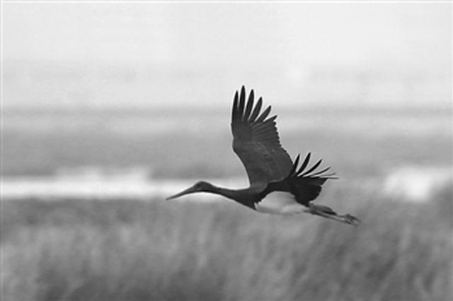 宁波近年来首次发现黑鹳 属于国家一级保护动物