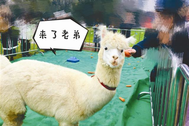 减压期末考 宁波诺丁汉大学牵来了网红神兽羊驼