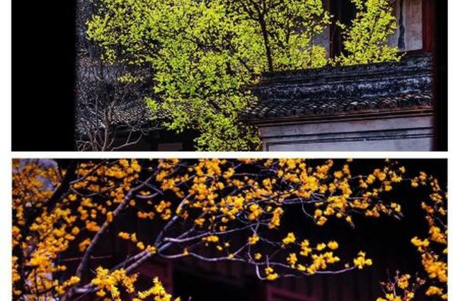连日的阴雨似乎唤醒了满城的蜡梅 宁波赏梅胜地推荐