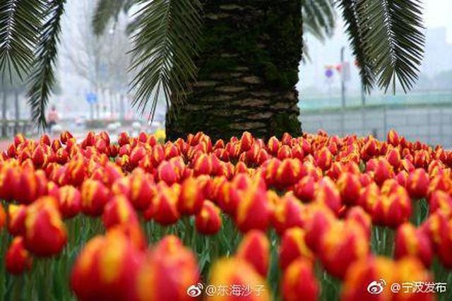 宁波东部新城赏郁金香 河畔一片五彩缤纷的郁金香