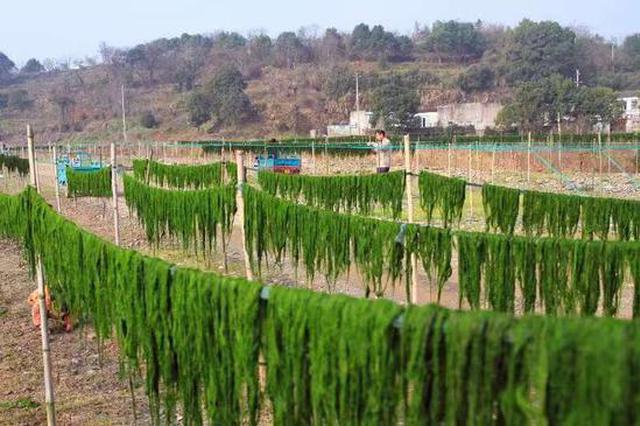 浙江宁海渔民晒苔忙 织就渔村海味风景