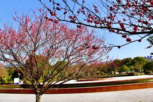 慈溪城区赏梅攻略 赏梅季梅花盛开散发缕缕清香