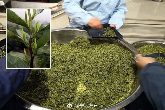 宁波首批优质春茶上市 茶采摘时间比去年提前一周