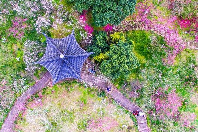 北仑区九峰山景区梅花正艳 吸引了各地游客前来观赏