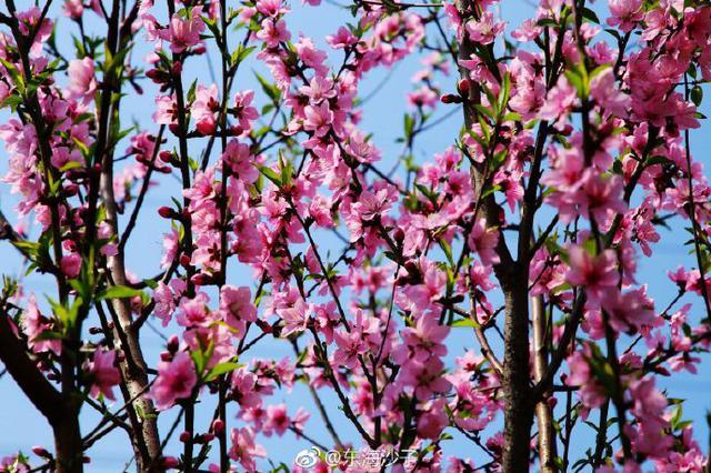 宁波甬新河畔桃花红 一簇簇在枝头散发出春天的淡香