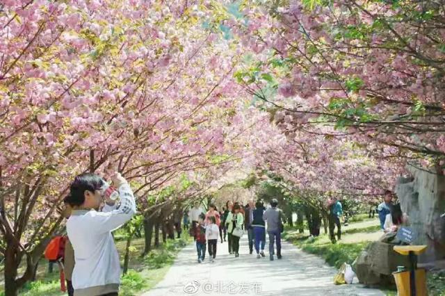 宁波九峰山第四届樱花节正式开幕 樱花节为期一个月