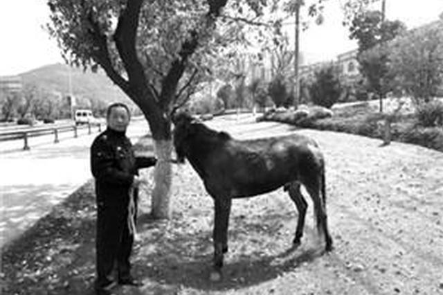 一匹路边吃草两匹混入车流 鄞州三头骡子撂挑子去踏青